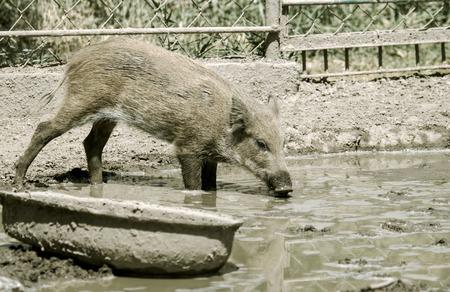 wild boar in the mud photo