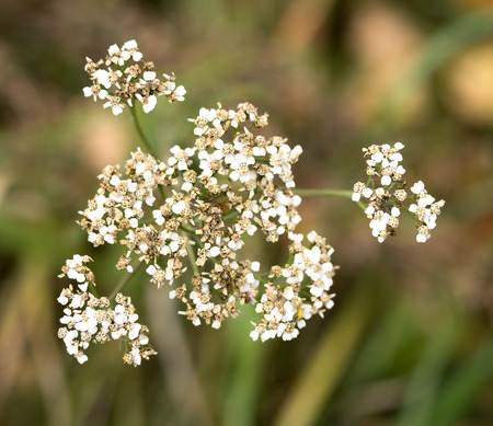 yarrow: white flowers yarrow nature Stock Photo