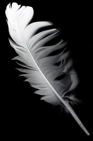 dead duck: bird feather on black background