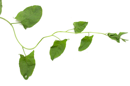 creepers: plant creepers on a white background