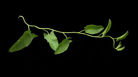 vine on a black background photo