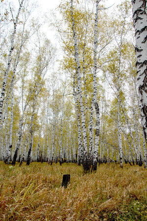 yellow autumn birch forest photo