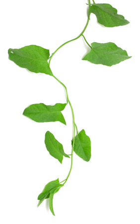 Green ivy isolated on white background photo