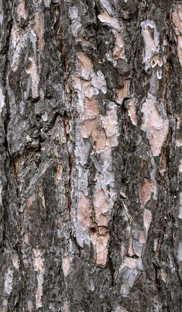 birch bark background photo