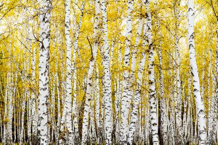 노란색 단풍 자작 나무 숲