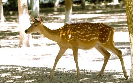 sika deer: sika deer  Stock Photo