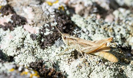 caelifera: grasshopper on a stone Stock Photo