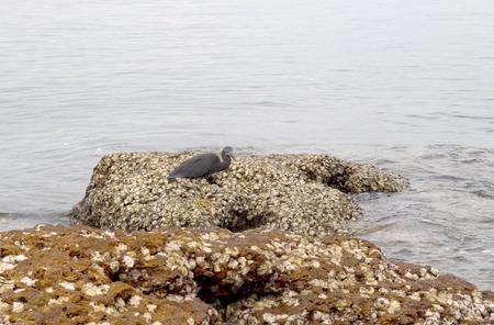 endothermic: Black heron on the sea