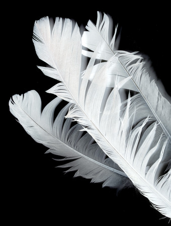 bird feather on black  photo