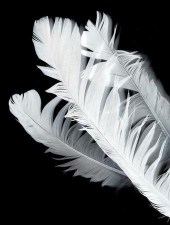 dead duck: bird feather on black