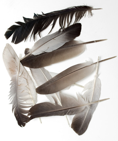 Beautiful  feather , isolated on white photo