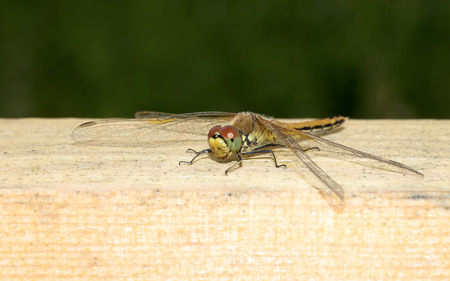snaketail: dragonfly