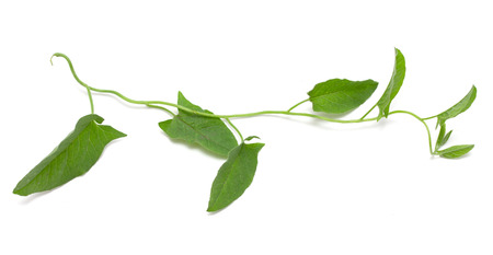 Green ivy isolated on white  photo