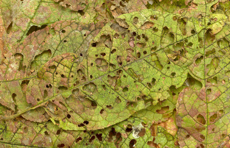 eaten: autumn leaves eaten by insects