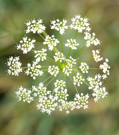 white flowers yarrow nature photo