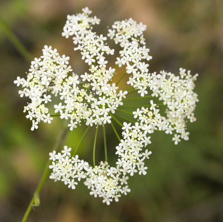 staunch: white flowers yarrow nature Stock Photo