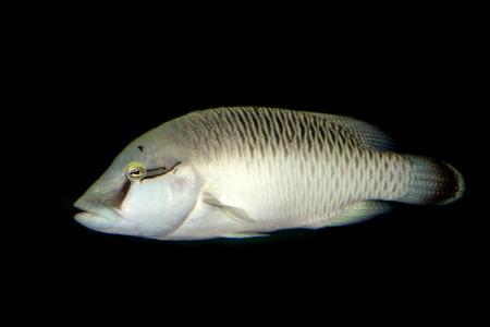 symbiotic: marine fish in water