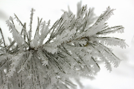 winter snow spruce in snow Siberia photo