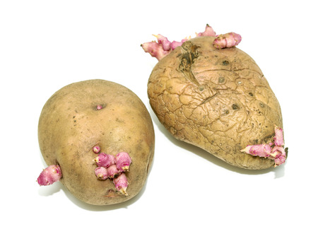 sprouted: sprouted potatoes on a white background Stock Photo