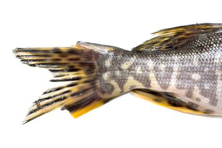 fish pike on a white background photo