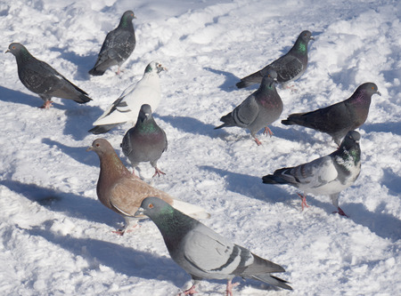 fragile peace: wild pigeons on snow in winter