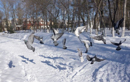 fragile peace: pigeons on wing winter in city park Stock Photo