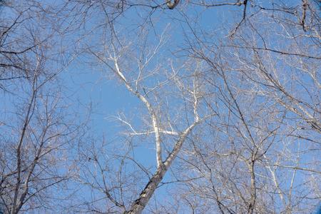 fiambres: ramas de los �rboles sobre un fondo de cielo azul Foto de archivo