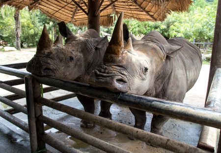 grazer: two-horned rhinoceros at the zoo Stock Photo
