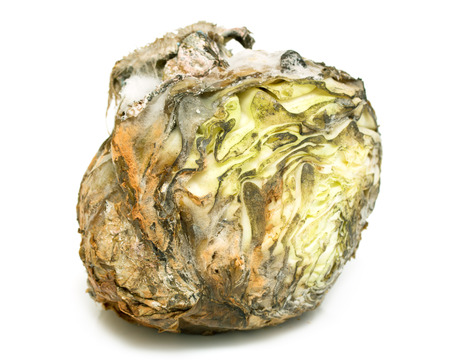 sear and yellow leaf: spoiled rotten cabbage with mold