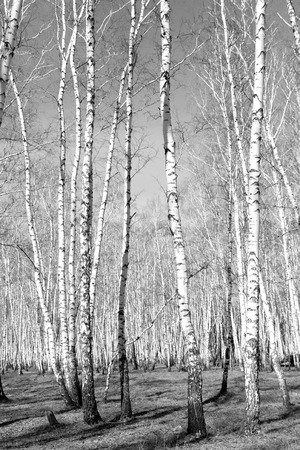 photos of pattern: birch, black and white photo Stock Photo