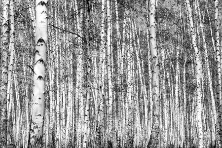 aspen leaf: birch, black and white photo Stock Photo