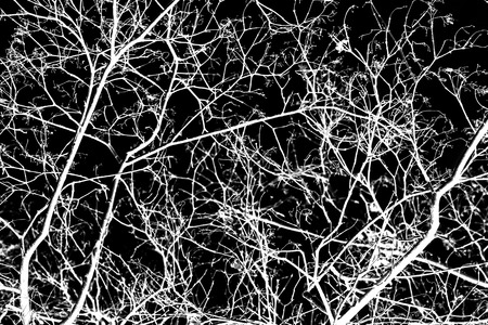 white tree branches on a black background photo