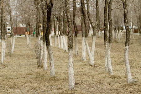 woodland  horror: spring forest gray trees