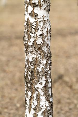 woodland  horror: gray forest trees Stock Photo