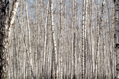 birchwood: Natural as birchwood Stock Photo