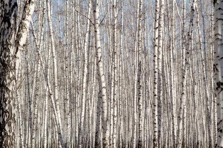 birchwood: Natural  as birchwood