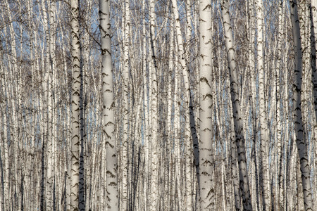 Natural background as birchwood photo
