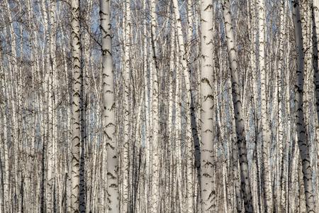 birchwood: Natural background as birchwood