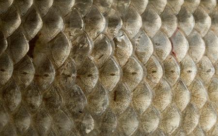 fishy: Fish Scales Macro Closeup
