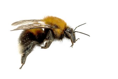 abejas: insecto, abeja del manosear en un fondo blanco con la sombra Foto de archivo