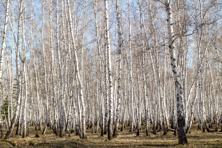 birch forest spring without leaves photo