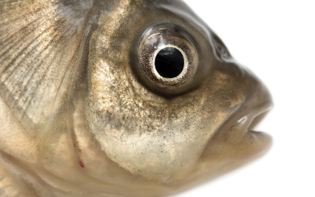 fish head: fish head on a white background Stock Photo