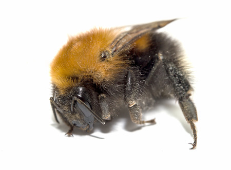bombus: insect, bumble bee on a white background with shadow Stock Photo