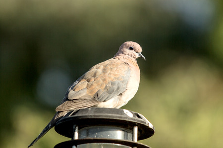 spotted: Spotted Dove (Streptopelia chinensis)