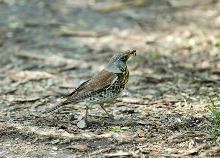 earthworm: Blackbird with earthworm in its bill