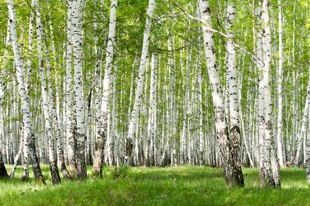 春に緑の白樺の森