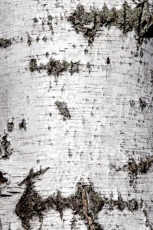 오래 된 자작 나무 나무 껍질