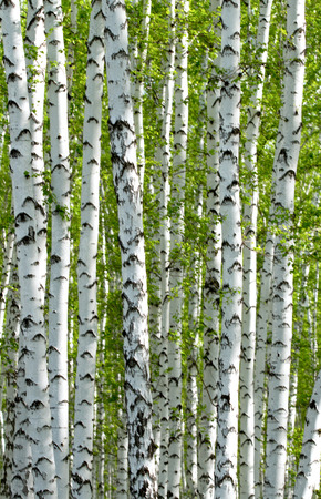 spring green: Green birch forest in the spring