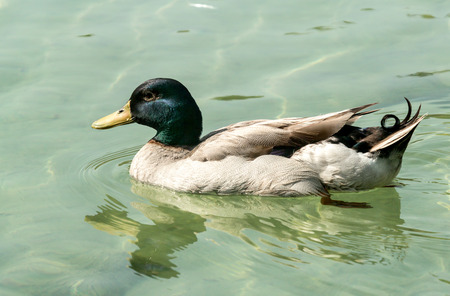 color image mallard duck: Duck in the pond