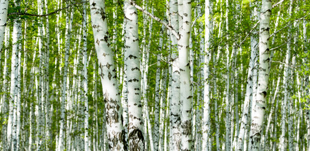 Green birch forest in the spring